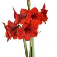 Tanaman Amarilis Merah (Red Amaryllis)