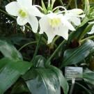 Tanaman Amazon Lily