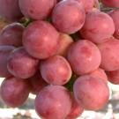 Tanaman Anggur Red Globe
