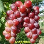 Tanaman Anggur Red Prince