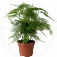 Tanaman Asparagus Fern