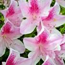Tanaman Azalea Pink & White