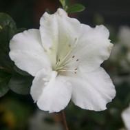 Tanaman Azalea Putih Single