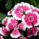 Tanaman Bicolor Dianthus Baby Doll