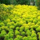 Tanaman Brokoli Kuning