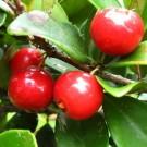 Tanaman Beach Cherry