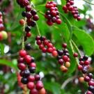 Tanaman Buah Buni (Bignay Fruit)
