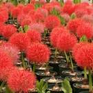 Tanaman Bunga Desember (Blood Lily)