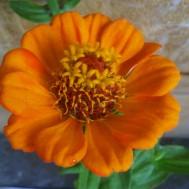 Tanaman Zinnia Orange