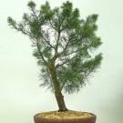 Tanaman Cemara Udang (She Oak)
