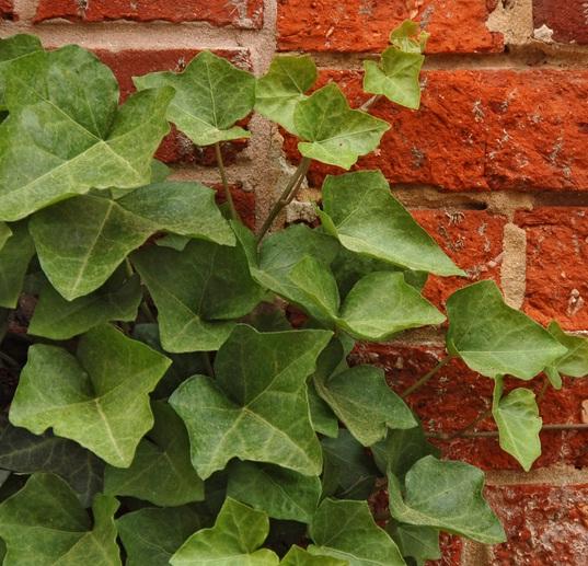 Tanaman english ivy merambat merayap menutupi tembok atau dinding.