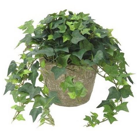 English ivy bisa ditanam di pot dan ditempatkan sebagai houseplant atau tanaman indoor.