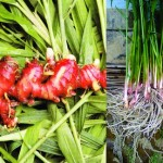 Tanaman Jahe Merah (Red Ginger)