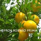Tanaman Jeruk Keprok Borneo Prima