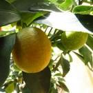 Tanaman Jeruk Lemon Cui