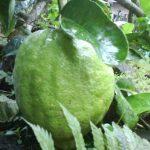 Tanaman Jeruk Pepaya (Jerpaya) 60-80 cm