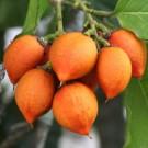 Tanaman Kacang Amazon (Peanut Butter Fruit)