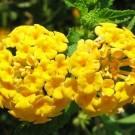 Tanaman Tembelekan Kuning (Yellow Lantana)