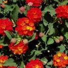 Tanaman Tembelekan Merah (Red Lantana)