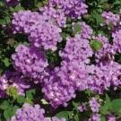 Tanaman Tembelekan Ungu (Purple Lantana)
