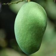 Tanaman Mangga Arumanis