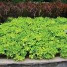 Tanaman Marguerite Sweet Potato Vine