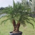 Tanaman Palem Phoenix (Miniature Date Palm)