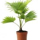 Tanaman Palem Sadeng (Footstool Palm)
