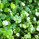 Tanaman Patikim (Lawn Pennywort)