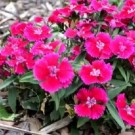 Tanaman Pink Dianthus Baby Doll