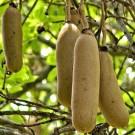 Tanaman Pohon Sosis (Sausage Tree)