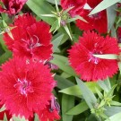 Tanaman Red Dianthus Baby Doll