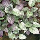 Tanaman Sambang Getih (Purple Waffle Plant)
