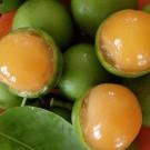 Tanaman Spanish Lime (Genip)