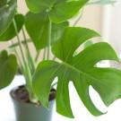 Tanaman Split Leaf Philodendron
