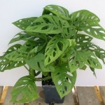 Tanaman Swiss Cheese Philodendron