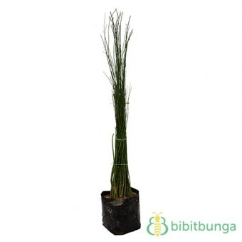 Tanaman Bambu Air Hijau (Scouring Rush)