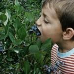 Tanaman Blueberry 50-60 cm