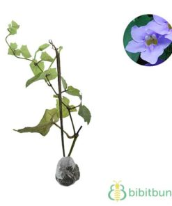 Tanaman Thunbergia Biru (Blue Clock Vine)