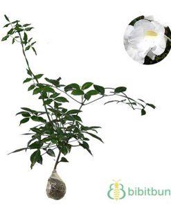 Tanaman White Bower Vine
