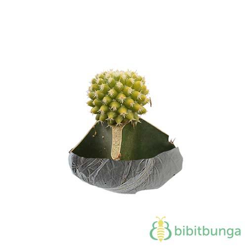 Tanaman Kaktus Yellow Pineapple