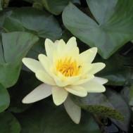 Tanaman Teratai Chromatella Kuning