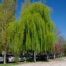 Tanaman Babylon Willow (Weeping Willow)