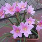 Tanaman Grandiflora Zephyranthes
