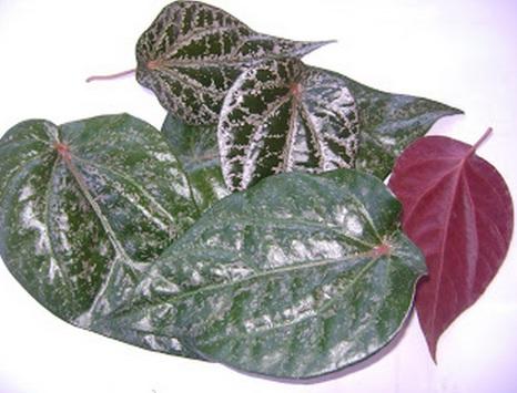 khasiat daun sirih hijau untuk diabetes