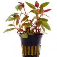 Alternanthera Reineckii 'lilacina' 5 Pcs