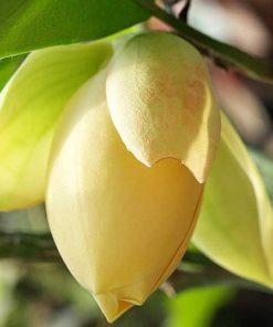 Jual Tanaman Cempaka Mulya Ungu Purple Magnolia Figo