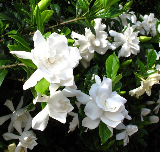 kaca-piring-gardenia-jasminoides