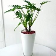 Tanaman Philodendron xanadu