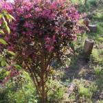 Tanaman Loropetalum (Chinese Fringe Flower)